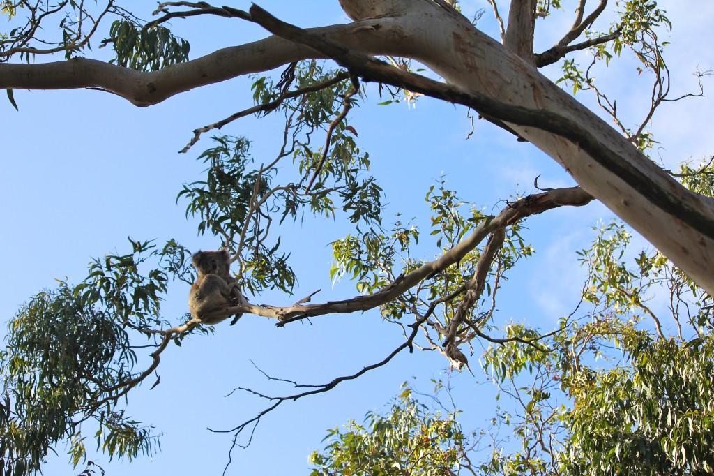 Koala perché dans son eucalyptus