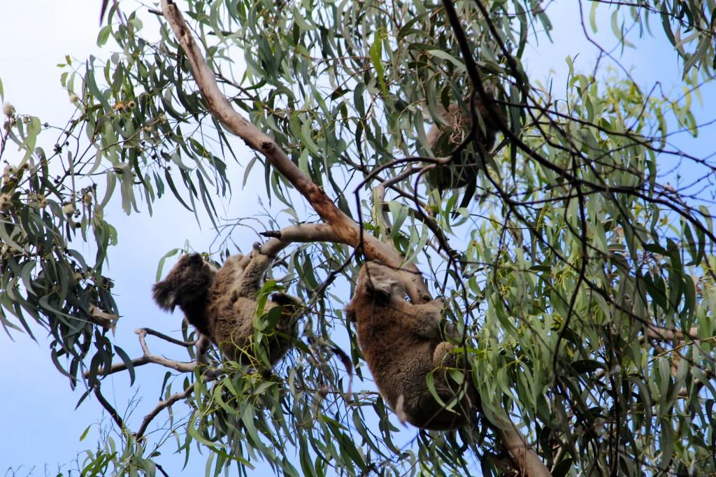 Qu'est-ce que vous venez faire sur mon eucalyptus ? Ca va pas se passer comme ça !