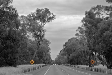 Attention aux koalas sur une route dans les grampians !