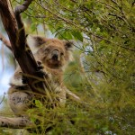 Petit koala deviendra grand