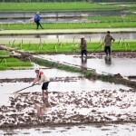 Travail dans les rizieres