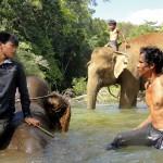 Les cornacs lavent les éléphants dans les rivières