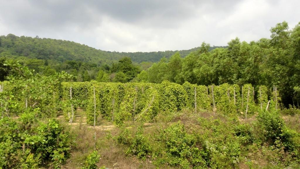Plantation de poivre au milieu de la forêt
