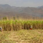 Plantation de canne à sucre à l'est du lac