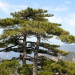 Un des pins célèbre du parc des Huang Shan