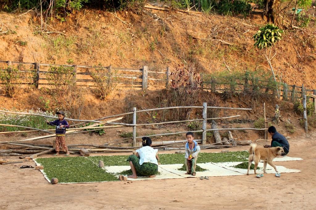 Femme shan faisant sécher la récolte du thé devant sa maison