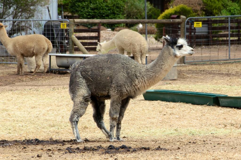 Le LAMOUTON aussi appelé Alpaga