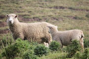 Moutons en Nouvelles-Zélande
