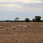Moutons en Australie près des Grampians
