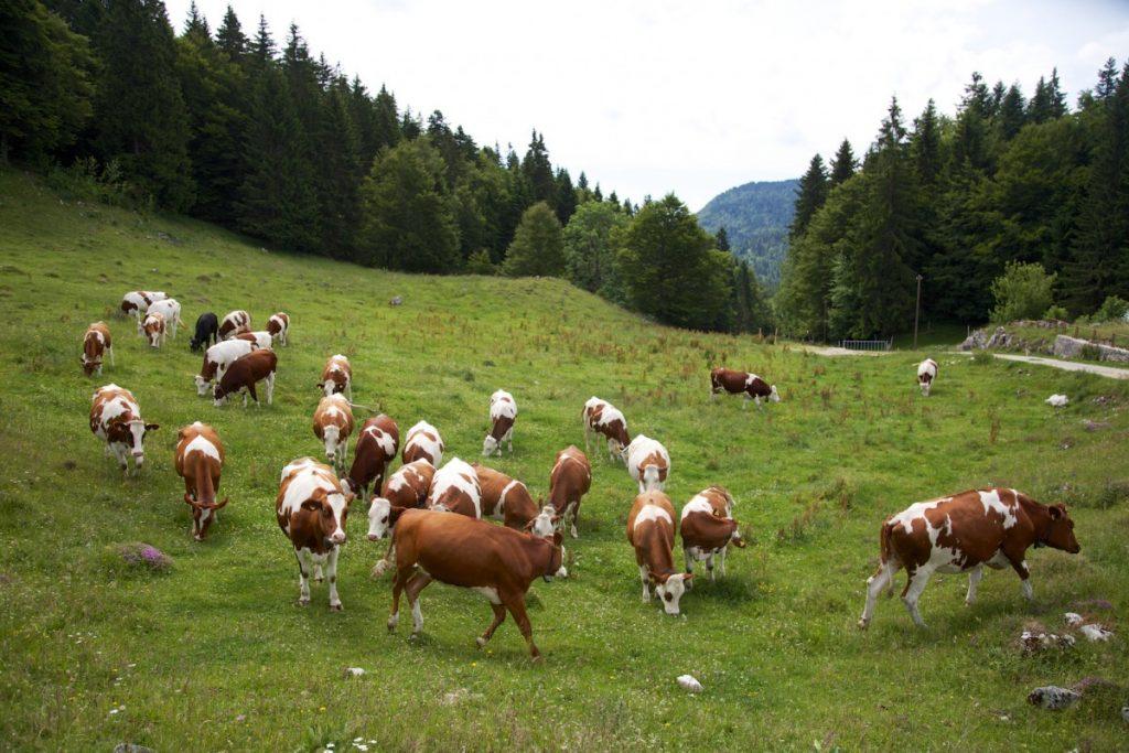 Randonnées bercées au doux sons de vaches laitières